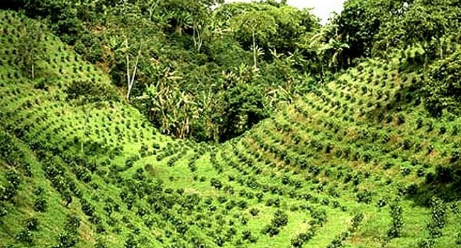 Chikmagalur Coffee Plantation